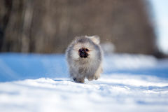 Spitz puppy Stock Photography