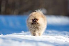 Spitz puppy Royalty Free Stock Image