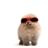 Pomeranian spitz in red sunglasses Stock Image