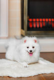 Pomeranian spitz Royalty Free Stock Photo