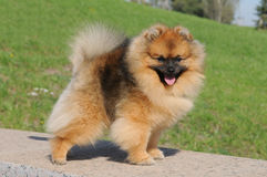 Pomeranian spitz in show stand Stock Photos
