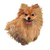 Pomeranian spitz Royalty Free Stock Photos