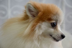 Pomeranian spitz smiling. Pomeranian poses for the camera on a sunny morning in the studio Stock Photos