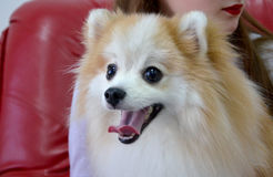 Pomeranian spitz smiling. Pomeranian poses for the camera on a sunny morning in the studio Royalty Free Stock Photo
