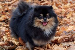 Pomeranian spitz is standing in the autumn foliage. Stock Photo