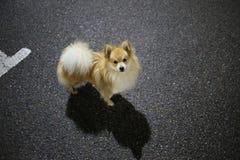 Pomeranian spitz standing at parking at night. Portrait of a pomeranian spitz standing at parking at night looking at camera royalty free stock photos
