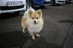 Pomeranian spitz standing at parking at night. Portrait of a pomeranian spitz standing at parking at night looking at camera stock image