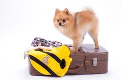 Pomeranian spitz standing on travel suitcase. Royalty Free Stock Image