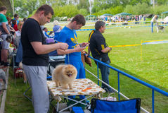 Pomeranian spitz is waiting for the appearance on a dog show Royalty Free Stock Photo