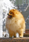 Pomeranian spitz with waterfall Stock Photography