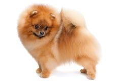 Pomeranian spitz on the white Stock Image