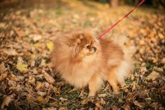 Pomeranian spitz in yellow foliage. Beautiful fluffy red dog close-up stock photography