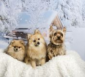 Pomeranian, Spitz and Yorkshire Terrier sitting together in wint. Pomeranian, Spitz and Yorkshire Terrier sitting, winter scene Royalty Free Stock Photos