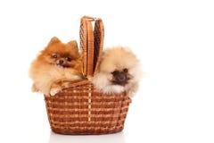 2 Pomeranian Spitzes в лозе Стоковые Фотографии RF
