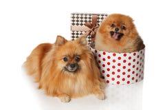 2 Pomeranian Spitzes изолированное на белизне Стоковое Изображение RF