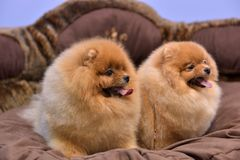 2 Pomeranian Spitzes Стоковое Фото