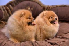 2 Pomeranian Spitzes Стоковые Изображения RF