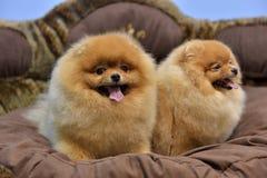 2 Pomeranian Spitzes Стоковые Фото