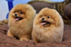 2 Pomeranian Spitzes Стоковая Фотография RF