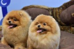 2 Pomeranian Spitzes Стоковая Фотография