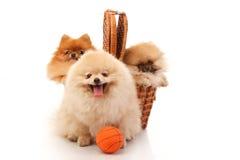 Pomeranian Spitzes Стоковые Изображения