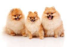 3 Pomeranian Spitzes Стоковое фото RF