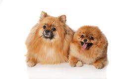 2 Pomeranian Spitzes Стоковое Изображение RF