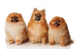 3 Pomeranian Spitzes Стоковые Изображения RF