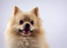 Pomeranian spitzhund för stående som isoleras på vit backg Arkivbilder