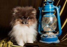 Pomeranian-Spitzhundewelpe und -laterne auf Weihnachten oder neuem Jahr lizenzfreie stockbilder