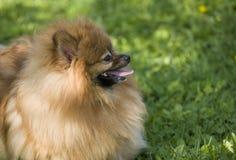 Pomeranian Spitzportrait Lizenzfreies Stockbild