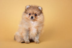 Pomeranian spitzvalp Royaltyfri Fotografi