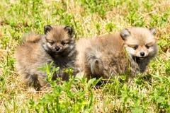 Pomeranian Spitzvalpar Arkivbilder