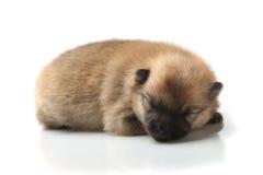 Pomeranian Spitzwelpe auf einem weißen Hintergrund Stockfoto