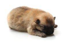 Pomeranian Spitzwelpe auf einem weißen Hintergrund Stockbilder