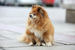 Pomeranian. Standing on the ground Royalty Free Stock Photo