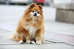 Pomeranian. Standing on the ground Stock Image