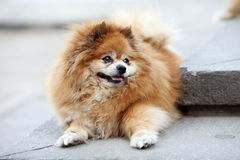 Pomeranian Royalty Free Stock Photography
