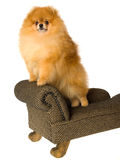 Pomeranian standing on mini couch Royalty Free Stock Photos