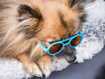 Pomeranian with sunglasses Royalty Free Stock Images