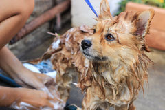 Pomeranian tar en dusch Royaltyfri Bild