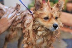 Pomeranian tar en dusch Royaltyfria Foton