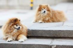 Pomeranian twee Stock Afbeeldingen