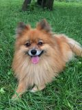 Pomeranian, un piccolo cane arancio su un'erba verde Fotografie Stock Libere da Diritti
