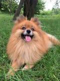 Pomeranian, un piccolo cane arancio su un'erba verde Fotografie Stock
