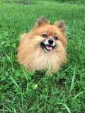 Pomeranian, un piccolo cane arancio su un'erba verde Immagine Stock Libera da Diritti