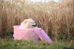 pomeranian valp för hund Royaltyfri Fotografi
