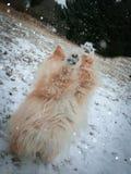 Pomeranian valp i skottet för snövinterhandling arkivfoton
