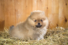 Pomeranian valp på ett sugrör Royaltyfri Foto