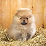 Pomeranian valp på ett sugrör Royaltyfria Bilder